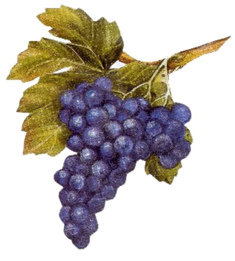 le grappe de raisin grappe de raisin