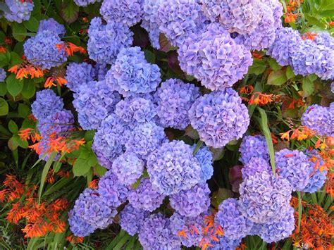 purple hydrangea file hydrangea purple blue hydrangea macrophylla jpg wikimedia commons