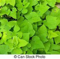 Patate Douce Plante : feuilles color plante coleus rick plante haut ~ Dode.kayakingforconservation.com Idées de Décoration