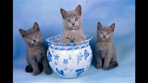 Chartreux Cat And Kittens