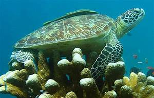 Green sea turtle facts for kids | National Geographic Kids