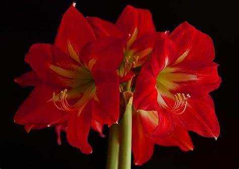 amaryllis die perfekte blume fuer den winter pflege und