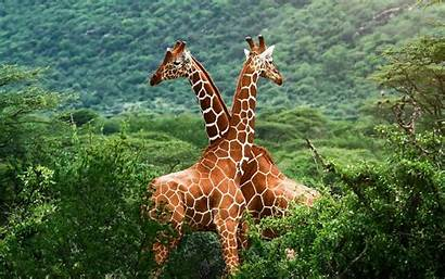 Giraffe Giraffes Nature Wallpapers Desktop Animals Dieren