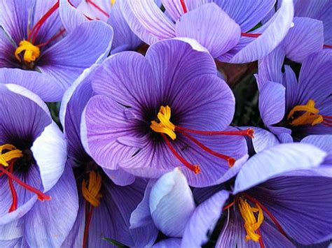 what flower is saffron from crocus flower saffron www pixshark com images galleries with a bite