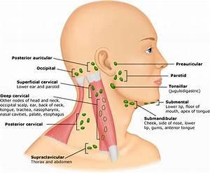 Lymph Nodes Back Of Head Diagram - Anatomy Organ
