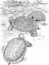Turtle Coloring Pages Turtles Animals sketch template