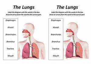 Lungs Lesson With Worksheet By Rcmcauley - Teaching Resources