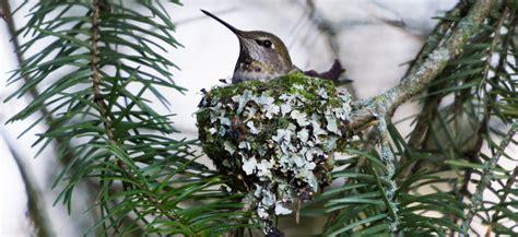 Hummingbird Nests: 7 Fun Facts You Should Know (2020) - Bird Watching HQ