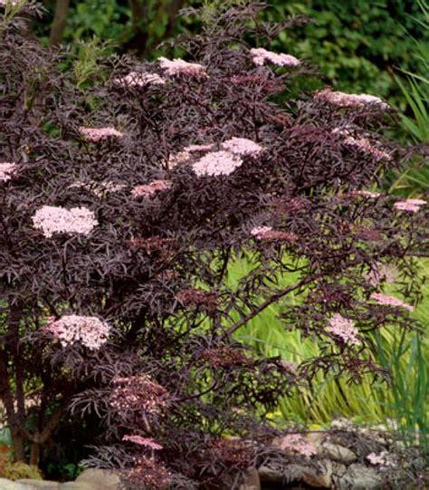 best 25 sambucus nigra black lace ideas on black lace elderberry sambucus black