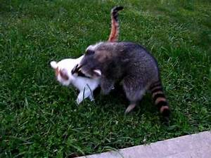 Raider the Raccoon Tries to Befriend a Cat (Part 1) - YouTube