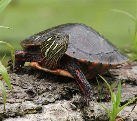 painted turtle facts  pictures