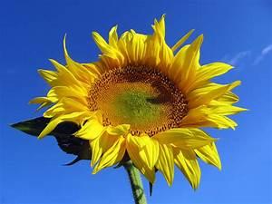 Bilder Blumen Kostenlos Downloaden : sonnenblume kostenlose bilder ~ Frokenaadalensverden.com Haus und Dekorationen