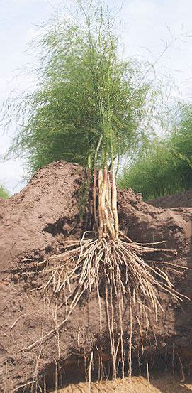 tips  growing asparagus  recommend buying asparagus
