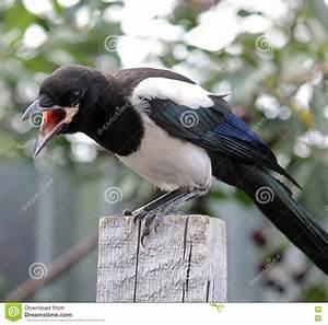 Elster Vogel Vertreiben : der junge vogel elster stockfoto bild 74711738 ~ Lizthompson.info Haus und Dekorationen