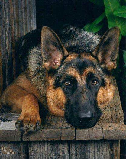 17 Best Images About German Shepherds On Pinterest
