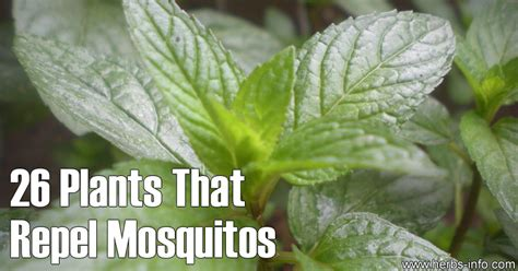 plants that repell mosquitoes 26 plants that repel mosquitos herbs info