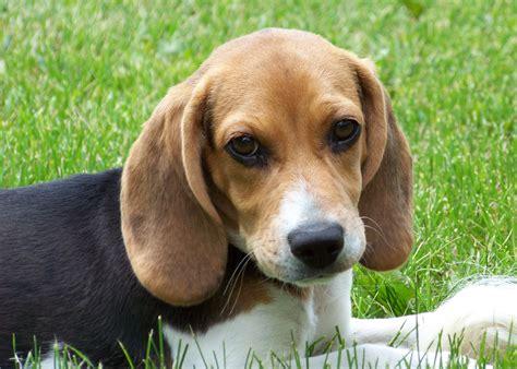 Filecute Beagle  Ee  Puppy Ee   Lilly Jpg