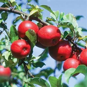 Starkspur U00ae Red Rome Beauty Apple - Apple Trees