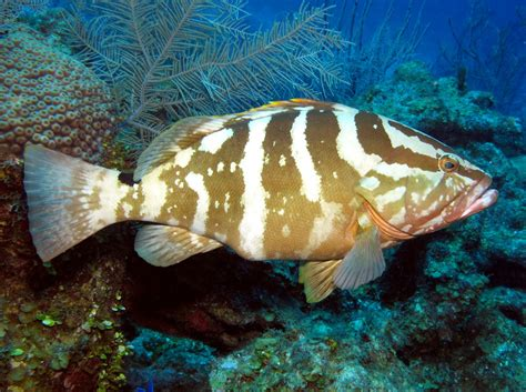 grouper nassau species epinephelus striatus florida fish caribbean fishing cayman reef reefs groupers grand goliath coney tropical reefguide location record