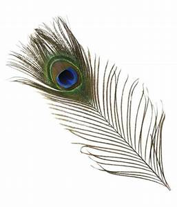 Peacock Natural Mor Pankh Feather SET 1 - Buy Peacock