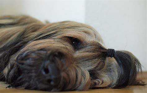 briard dog fantastic pet encyclopedia uk