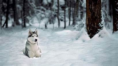 Winter Wallpapers Huskies Dogs Husky Snow Dog