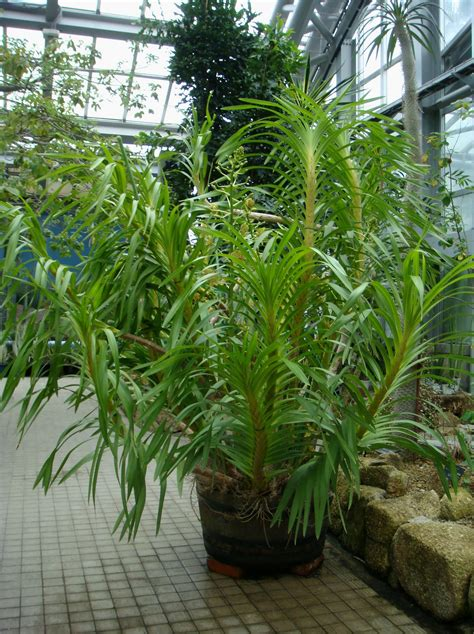 Grammatophyllum speciosum Blume