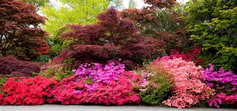 how fast do azaleas grow the all inclusive guide to blooming azaleas fast growing trees com blog
