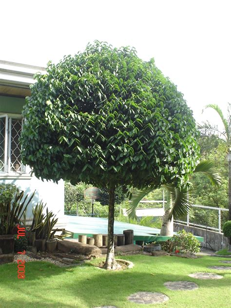 trees for garden cainta plant nursery for your tree planting projects landscaping and garden needs