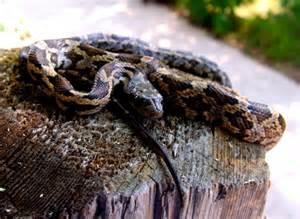 Chicken Rat Snake Texas