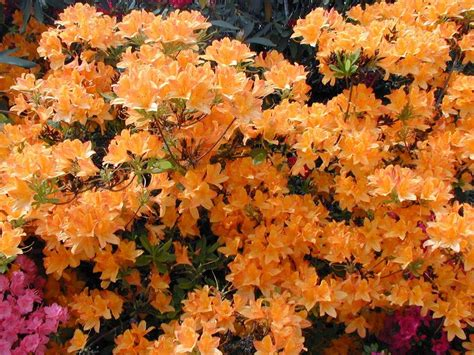 plantes terre de bruyere pepinierelelann p 233 pini 232 res vente
