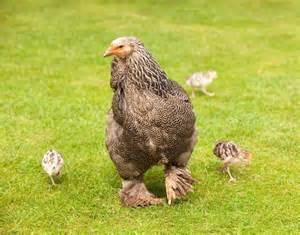 Dark Brahma Chickens