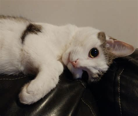 calico cat rehoming