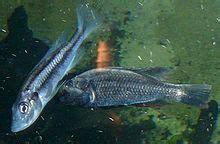 fishing  lake victoria wikipedia