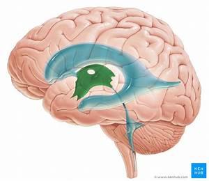 Third Ventricle  Anatomy