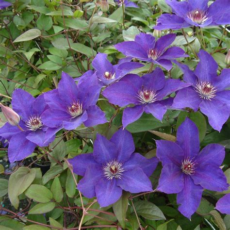 clematis  president clematite  grandes fleurs bleu
