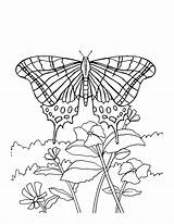 Butterfly Coloring Pages Butterflies Flowers Flower Monarch Printable Sheets Adult Adults Colouring Bestcoloringpagesforkids Roses Spring Coloringfolder Books Daisy Fun Getcoloringpages sketch template