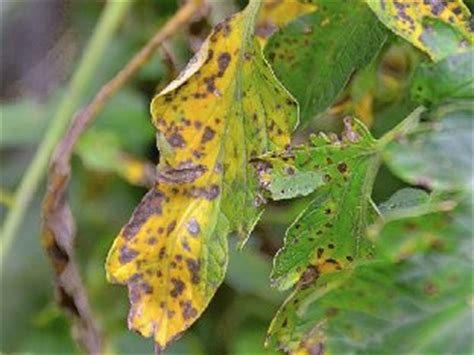 Identify, Prevent And Treat Tomato Blight In The Uk
