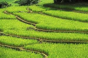 Image Gallery ricefields
