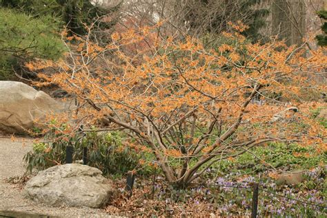 witch hazel tree images witch hazel tree for flowers in february