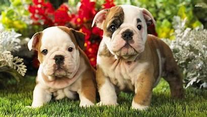 Bulldog English Wallpapers Funny Puppy Pet Puppies