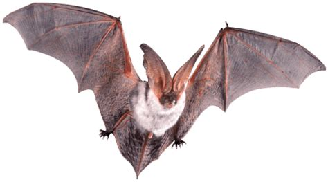 Mammifero Volante Sognare Pipistrelli Visioni Errate Significato Sogno