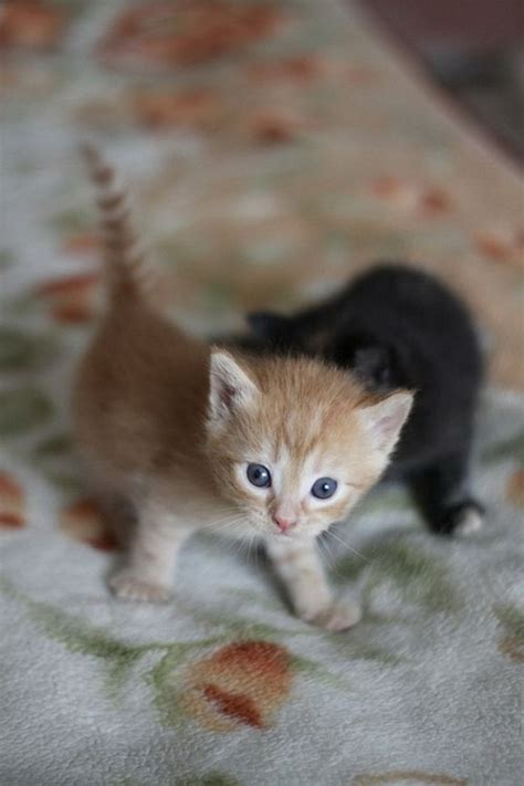 baby cats super cute baby kittens related keywords super cute baby kittens long tail keywords keywordsking