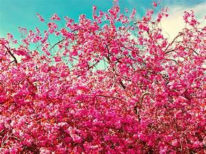 Rosa Blühende Bäume April : foto rosa farbe blumen ast bl hende b ume ~ Michelbontemps.com Haus und Dekorationen