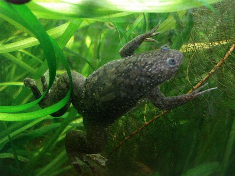 clawed frog picture 1 of 8 african clawed frog xenopus laevis pictures images animals a z animals