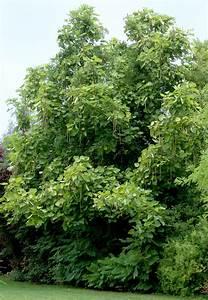 Arbres A Pousse Tres Rapide : paulownia planter et entretenir ooreka ~ Premium-room.com Idées de Décoration