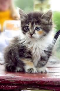 Baby Calico Kitten