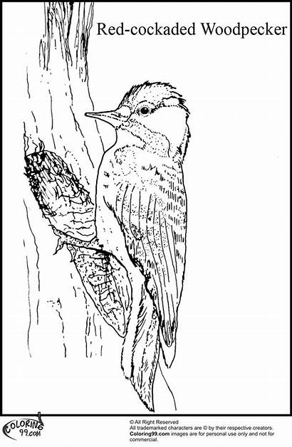 Woodpecker Coloring Pages Cockaded Bird Teamcolors Colors