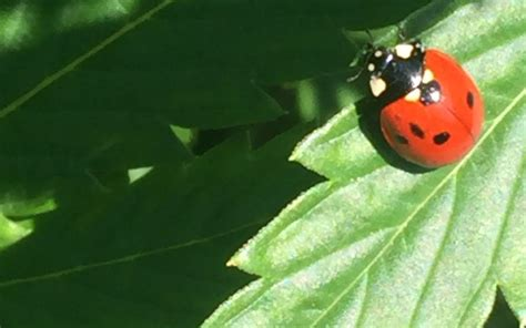 grow hack release and maintain ladybugs in your indoor