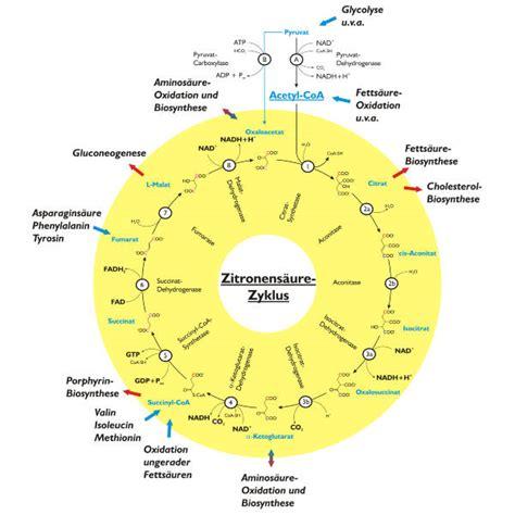 Energiestoffwechsel mensch